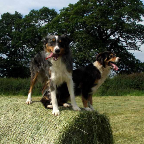 Two Dogs Upper Heath Farm on Bales